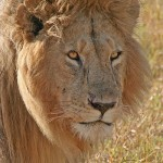 Leeuw in Afrika